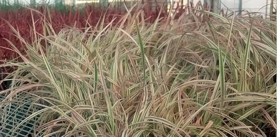 Ornamental grass bloomin designs nursery for Ornamental grasses design plans
