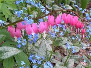 dicentra-spectabilis-old-fashioned-bleeding-heart.jpg