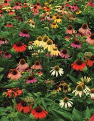 echinacea-field.jpg