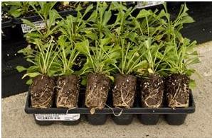 leucanthemum.jpg