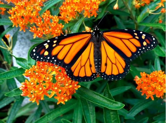 monarch-on-asclepias-tuberosa.jpg