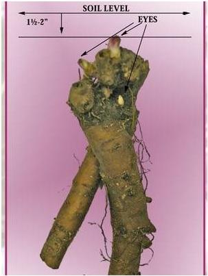 peony-bare-root.jpg